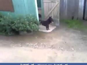 Pies strażnik bramy